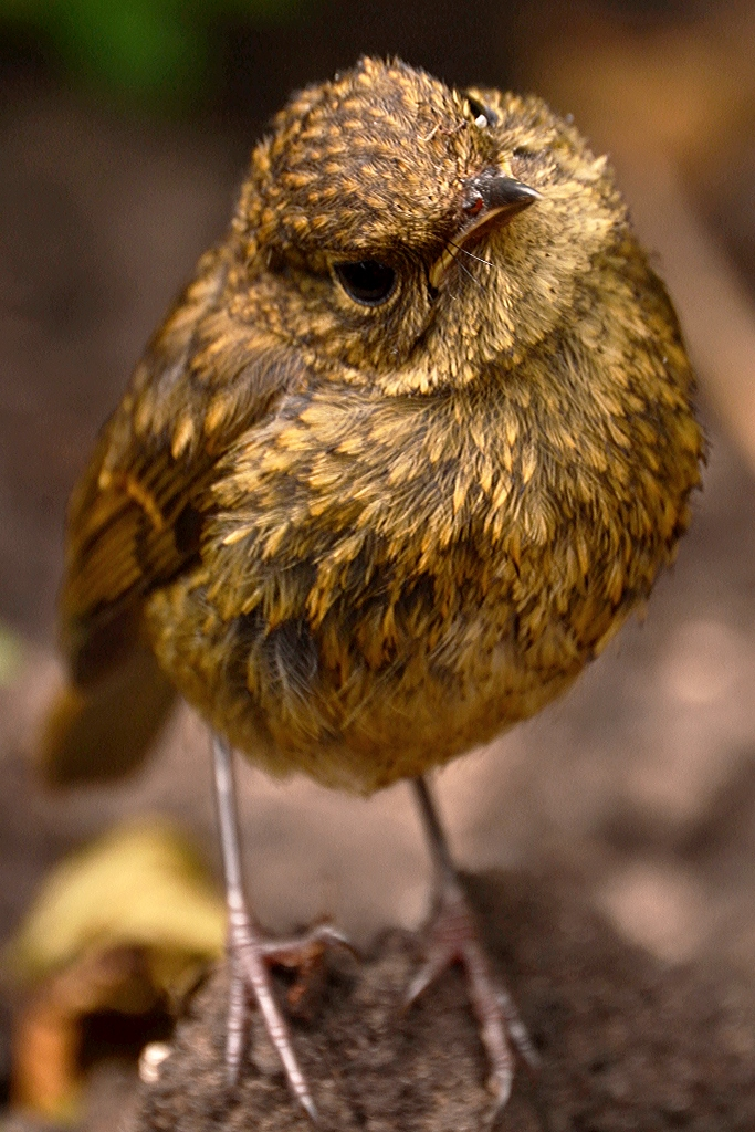 Juvenile Robin by Becky Goodridge