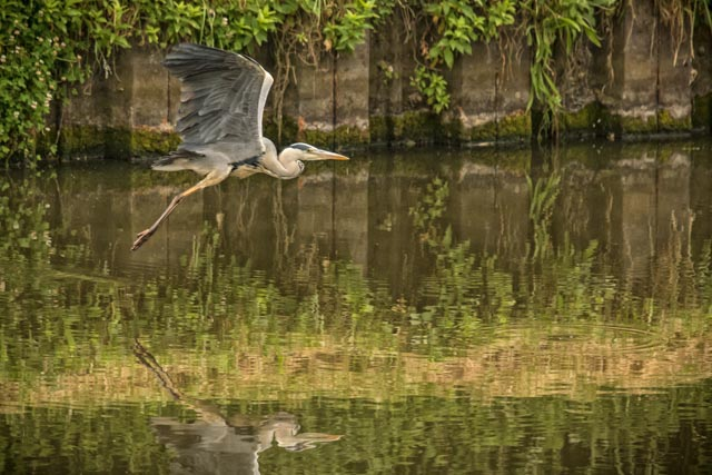 Heron, Sprotborough by Carol Hall