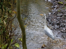 Grey Heron in Porter Brook at Bingham Park  by Mike Smith