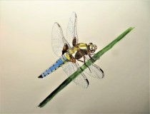 """""""Libellula dragonfly"""" by Helen Smyly"""