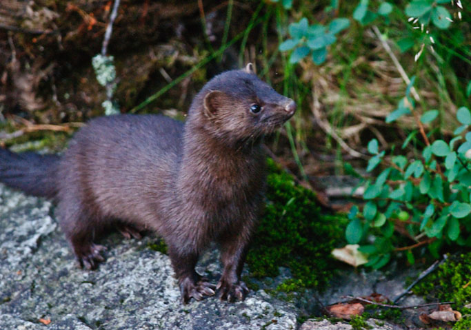 american-mink_invasive-species_dcrt_river-don