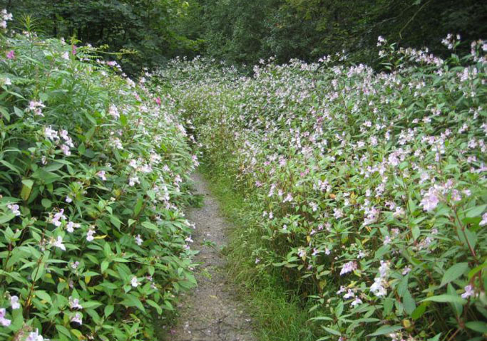 impatiens-glandulifera-_-invasive-species-_-dcrt-_-river-don