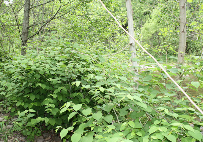 japanese-knotweed-_-invasive-species-_-dcrt-_-river-don